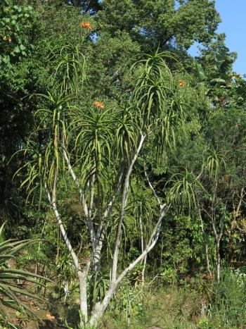Aloidendron tongaensis