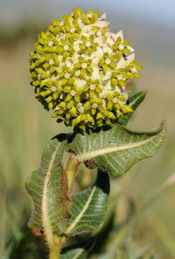 Asclepias albens (Photo SP Bester)