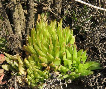 Haworthia mucronata (Photo S.D. Gildenhuys)