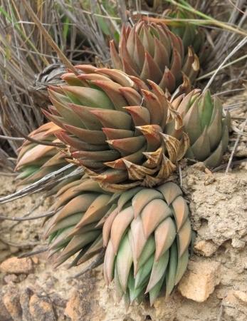 Haworthiopsis glauca var. glauca from Zuurberg Pass. (S.D. Gildenhuys)