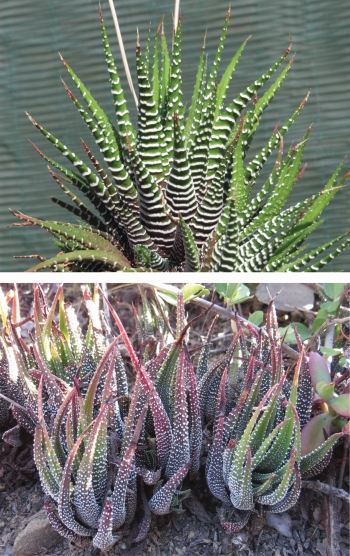 Haworthiopsis attenuata var. attenuata with zebra bands (top) and a form with finer tuberculations from Plutosvale (bottom). (S.D. Gildenhuys)