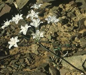 Strumaria unguiculata