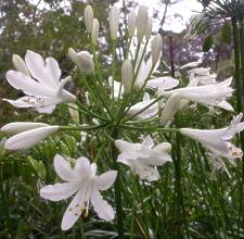 Agapanthus praecox 'Medium White'