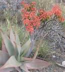Aloe striata Photo: NR Crouch