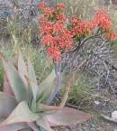 Aloe striata Photo: NR Crouch