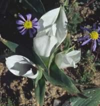 C. coloratum subsp. burchellii. Image copyright Mary Sue Ittner