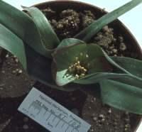 Colchicum capense subsp. capense