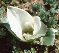 C. capense subsp. ciliolatum