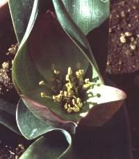 Colchicum hantamense