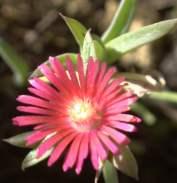 D. acuminatum