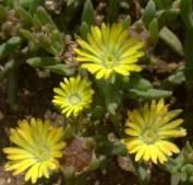 D. leendertziae