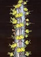 Euphorbia louwii