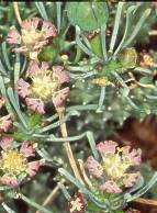Euphorbia pentops