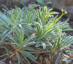 F.truncata
