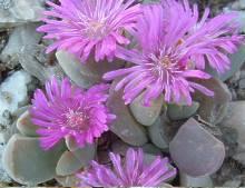 Gibbaeum haaglenii