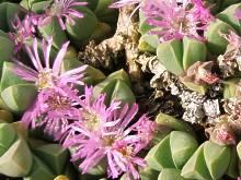 Gibbaeum petrense