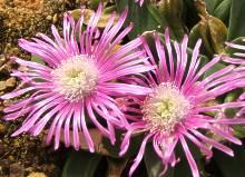 Gibbaeum schwantesii