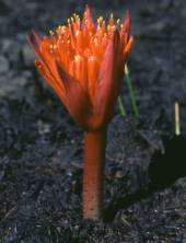 Haemanthus canaliculatus (Colin Paterson-Jones)