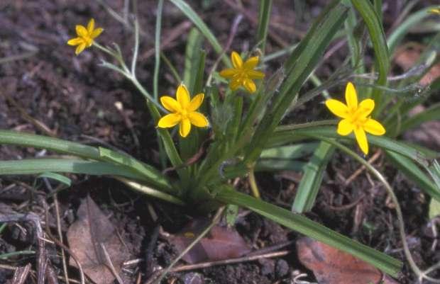 Hypoxis augustifolia