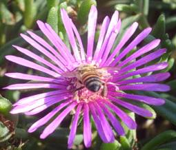 Delosperma lydenburgense visited by bee