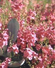 Diascia with Cotyledon