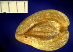 Seed from disc florets