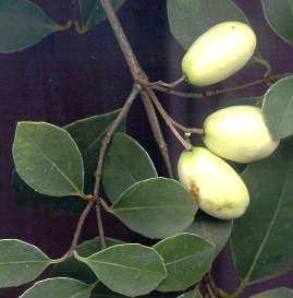 Fruit of E. croceum