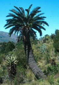 Encephalartos longifolius growing in the wild.