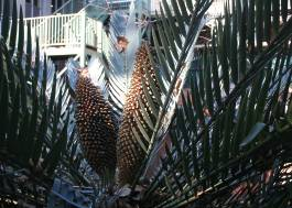 Encephalartos princeps with male cones