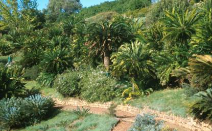 Cycads in the dell Kirstenbosch. E.woodii  in centre