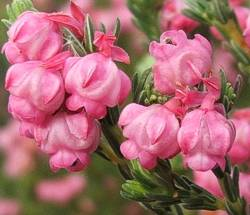 Erica baccans flowers
