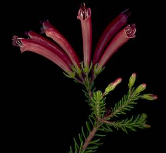 Erica nevillei flowers showing anthers foliage