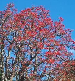 Erythrina lysistemon in spring