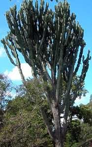 E Ingens Tree