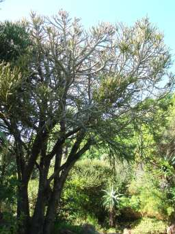 Tree at Kirstenbosch