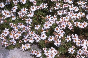 Small daisy-like flowers