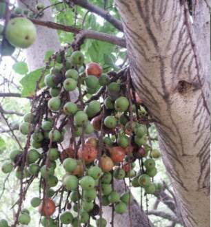 Fruits and tbark of Ficus sur