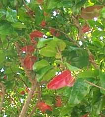 Old red leaves with new spring foliage
