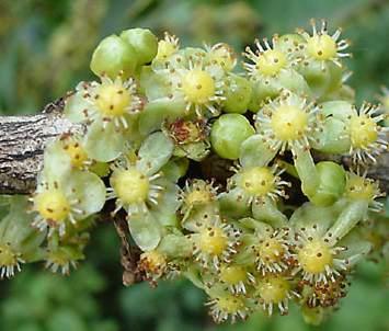 Garcinia Livingstonei Plantzafrica