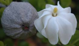 Gardenia volkensii fruit and flower