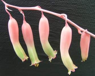 Flowers of Gasteria batesiana