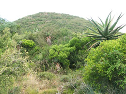 Albany Thicket, habitat of Gasteria pulchra