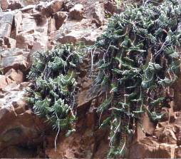 Gasteria rawlinsonii in habitat on a south-facing cliff, Baviaanskloof