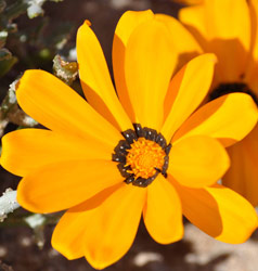 Gazania splendidissima flower head