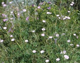 Flowering patch