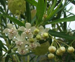Gomphocarpus physocarpus flowers and foliage