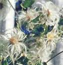 Seed heads of Clematis brachiata