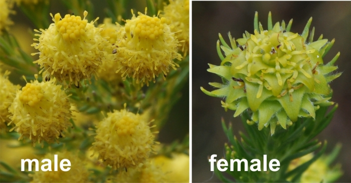 Leucadendron laxum, male flowerhead Left and female flowerhead Right.