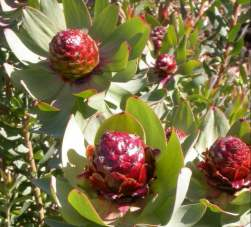 Attractive cones on female plants