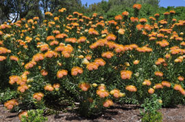 Leucospermum erubescen shrubs growing at Kirstenbosch